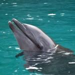 dolphin-704686_640