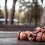 acorn-456205_960_720