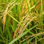 rice-1594612_640