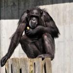 monkey-213460_640