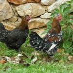 bantams-1083222_960_720