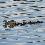 ducks-1563916_960_720