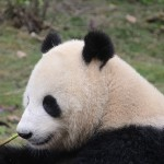 panda-1236878_640