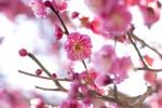 一面に咲き誇る約400本の梅!界隈では『梅のおもてなし』も♪【2月18日~3月18日】石山寺 梅つくし
