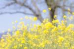 憧れのセトレマリーナびわ湖のランチ券が当たる!守山市第一なぎさ公園へ早咲き菜の花を見に行こう!