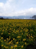 今が見ごろ!守山第一なぎさ公園早咲きの菜の花がきれいでした!!