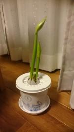 ヤマト運輸が販売されて、宅配もしてくれる。冬に綺麗な花が咲く【アマリリス】の栽培キットがあります。