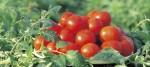 今まで食べていたケチャップは何だったんだろう?真っ赤に完熟した国産トマトを使用したケチャップ!