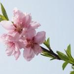 peach-blossom-1503626_640