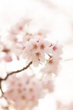 草津川の桜を楽しもう!4月7日(土)は草津川桜557(いいな)フェスタin2018開催!