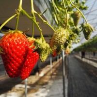 strawberry-2128477__480