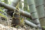 6月10日は愛知川河川敷で「愛知川愛林作業体験とタケノコイベント」が開催!タケノコ掘りやタケノコ料理を楽しもう♪