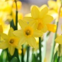 daffodils-716372_640-500x334
