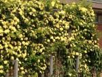 300種3,000株のバラを楽しもう♪びわ湖大津館では「春のローズフェスタ」が開催中!父の日プレゼント作りイベントもあり♪