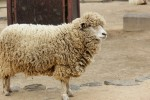 夏休みの自由研究にも!滋賀県畜産技術振興センターで参加無料の「羊毛クラフト教室」が開催!申込受付中♪