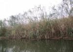 8月26日・27日は草津川跡地公園で「琵琶湖のヨシを使ってヨシ笛を作ろう」が開催!参加費300円♪