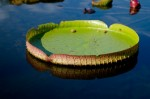 大きな葉っぱの上に乗ってみよう!池に浮かんだパラグアイオニバスに乗れます!☆体重30キロ以内、参加費無料