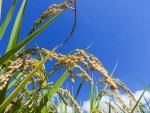 10月8日は甲賀市にて「うしかい田んぼアート稲刈り体験」が開催!稲刈り後は餅つき大会もあり♪