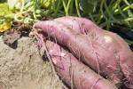 【11月3日】イモが地球を救う!湖南市にて空中栽培されたサツマイモの収穫祭を開催!発電実験やイモスイーツの試食会など☆参加無料♪