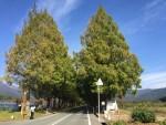 マキノ メタセコイア並木の紅葉はどんな状況?11月2日の状況です!