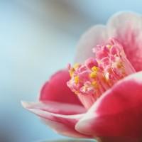 camellia-1883272_640