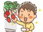 """1月16日から草津市のロックベイガーデンで「いちごの収穫体験」がスタート!嬉しい""""量り売り制""""で気軽に体験しよう♪"""