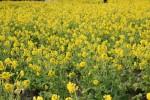 いよいよ見頃!守山市の第一なぎさ公園の菜の花畑をお見逃しなく♪