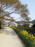 今年も見頃!花見をするなら山科疏水の桜がおすすめ!菜の花と桜のコラボレーションが素敵です!