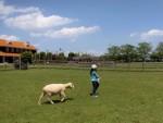 5月17日は日野町の畜産技術振興センターにて「ひつじの毛刈り」が実施!うさぎやヤギとのふれあいもあり♪