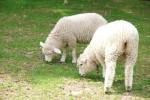 《11月7日〜14日》長浜市の長浜新川河川敷で羊の放牧が実施!可愛いヒツジさんに草をあげよう♪
