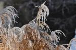 《2月17日》近江八幡市で「西ノ湖ヨシ刈り体験」が開催!環境保全のヨシ刈りを親子で体験!事前申込不要♪