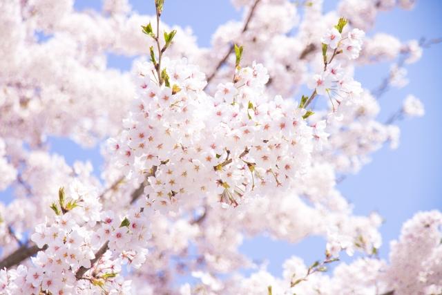 桜 青空 春