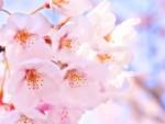 弁当不要の幼児は100円☆貸し切り電車で巡る桜の名所【4月6日】大津の京阪電車を愛する会 お花見電車