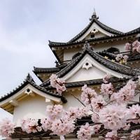 素材 彦根城 桜
