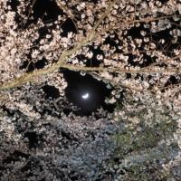 素材 夜桜 ライトアップ 月