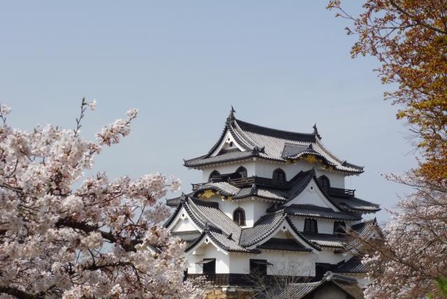 素材 彦根城 桜 斜め