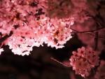 入場無料♪今年で最後!夜桜の下の3千本の蝋燭!和太鼓コンサートや出店も【3月30日】あかりに映える大津京物語
