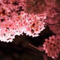 素材 夜桜 桜 ライトアップ