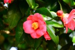 舞鶴市 自然文化園にてツバキまつり開催中♪週末には花びら染めのワークショップやドッグランも!4月14日まで