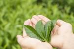 5月2日 八十八夜茶摘みの集いが京都・宇治にて開催♪茶摘み体験や抹茶の点て方を学ぶ体験も!