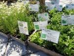 母の日の贈り物にも♪山野草の寄せ植えワークショップが近江八幡・ラ コリーナで開催♪5月12日