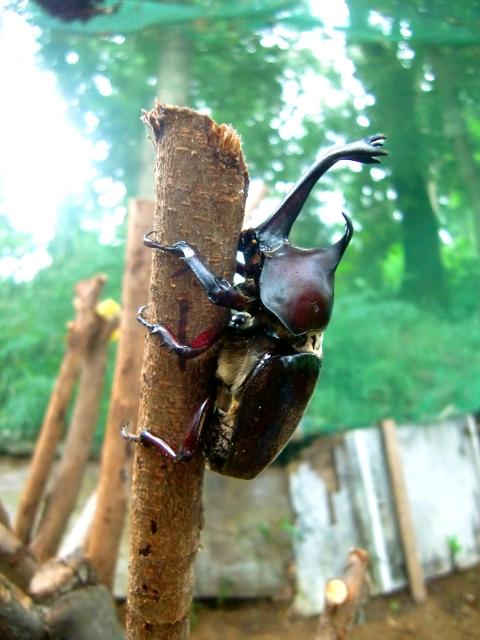昆虫 カブトムシ