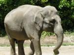 【京都市動物園】ゾウの美都、来園40周年イベント開催です〈8月12日〉