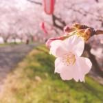 彦根市 宇曽川沿いの桜並木が満開!