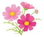 《11月14日・15日》秋の花畑をたっぷり楽しもう!日野町のブルーメの丘で「コスモス摘み取り体験」が開催!