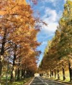 まもなく見頃を迎えるマキノの「メタセコイア並木」に行ってきた!色づき具合や土日の混雑状況をレポート♪