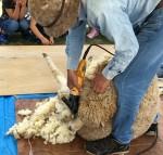 《5月5日》なかなかできない貴重な体験☆草津市のロクハ公園で「羊の毛刈り体験会」が開催!定員10組先着順☆
