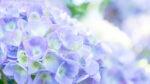 フォトジェニック‼5カ所の寺社で手水を彩る紫陽花♪期間限定御朱印も‼【甲賀市】忍者の里のあじさい花手水
