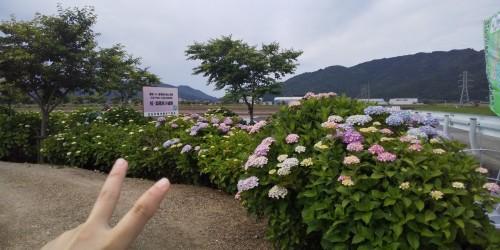 宮荘川紫陽花_210606_2
