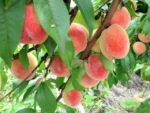 《7月3日〜》甘くて美味しいジューシーな桃が2時間食べ放題!アグリパーク竜王で「桃狩り」が開園!事前WEB予約も可能☆